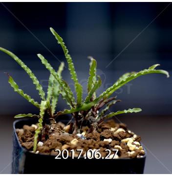 レデボウリア クリスパ 小型 子株 5452