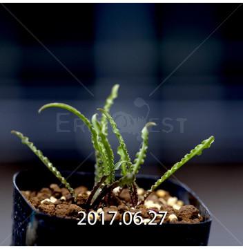 レデボウリア クリスパ 小型 子株 5454