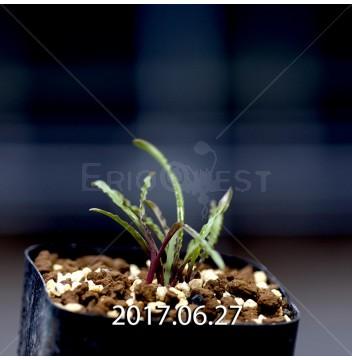 レデボウリア クリスパ 小型 子株 5455