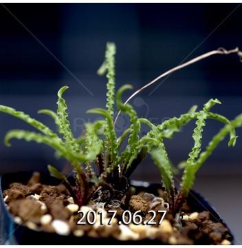 レデボウリア クリスパ 小型 子株 5464
