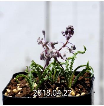 レデボウリア クリスパ 小型 子株 5469