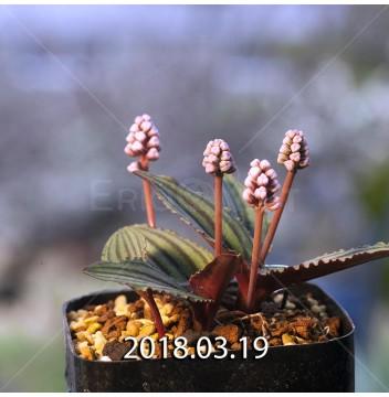 ドリミオプシス sp. nov. 子株 5675