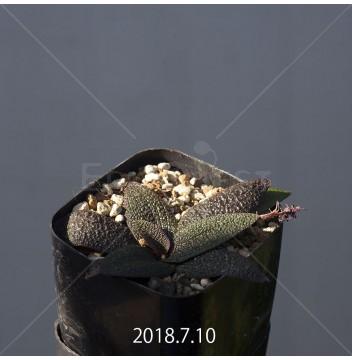 レデボウリア ガルピニー 子株 6198