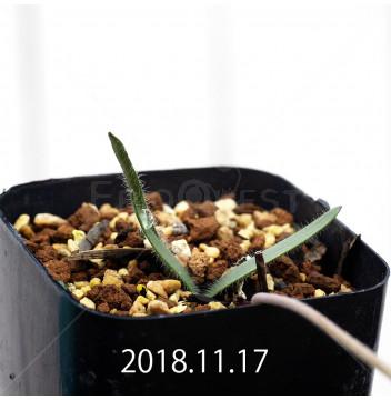 ストルマリア ディスキフェラ 子株 7170