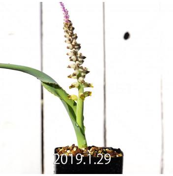 ラケナリア ムタビリス EQ467 実生 8507