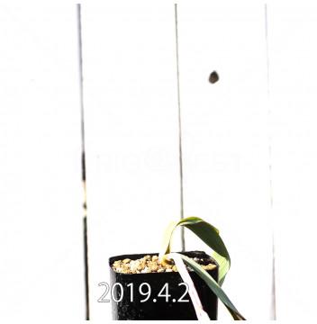 ラケナリア 交配種 EQ483 子株 8655