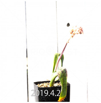 ラケナリア 交配種 EQ483 子株 8659