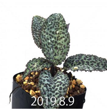 ドリミオプシス ブルケイ 子株 8686
