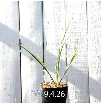 Yucca リギダ EQ493 実生 8774