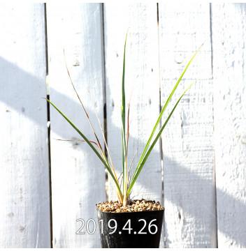 Yucca リギダ EQ493 実生 8777