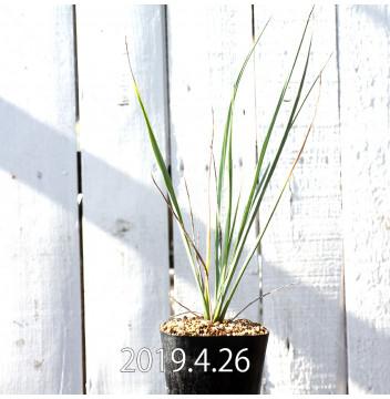 Yucca リギダ EQ493 実生 8784