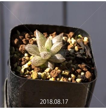 ハオルチア レティキュラータ フリンギー変種 子株 9726