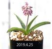 レデボウリア sp. aff. saundersonii 実生 13352