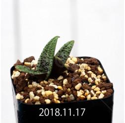 ラケナリア プスツラータ ISI2007-26 子株 10129