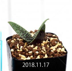 ラケナリア プスツラータ ISI2007-26 子株 10135