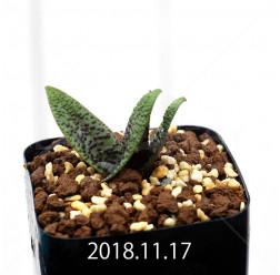 ラケナリア プスツラータ ISI2007-26 子株 10136