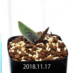 ラケナリア プスツラータ ISI2007-26 子株 10139