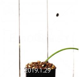 ラケナリア ムタビリス EQ467 実生 11423