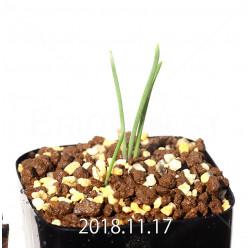 ラケナリア ポーキフォリア EQ660 実生 12105