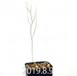 エリオスペルマム ポルフィロウァルウェ 実生 12371