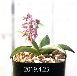 レデボウリア sp. aff. saundersonii 実生 13355