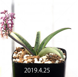 レデボウリア sp. aff. saundersonii 実生 13362
