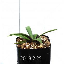 レデボウリア コリアセア DMC9654 子株 13427