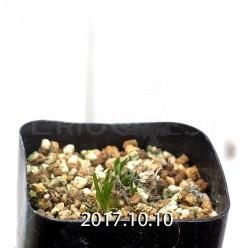 オーニソガラム sp. KangoRiver 実生 4309