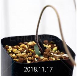 ストルマリア ディスキフェラ 子株 7172