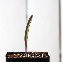 ラケナリア オーキオイデス グラウキナ変種 実生 8421