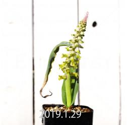 ラケナリア ムタビリス EQ467 実生 8510