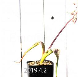 ラケナリア 交配種 EQ483 子株 8656
