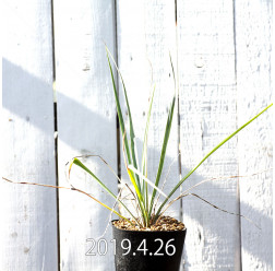 Yucca リギダ EQ493 実生 8773