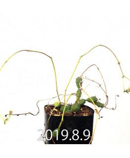 ユーフォルビア グロボーサ 子株 10009