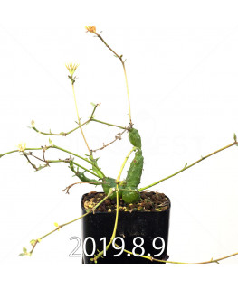 ユーフォルビア グロボーサ 子株 10015