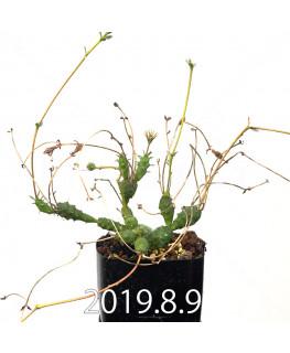 ユーフォルビア グロボーサ 子株 10017
