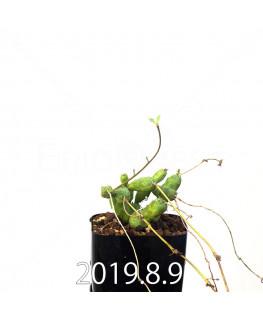 ユーフォルビア グロボーサ 子株 10018