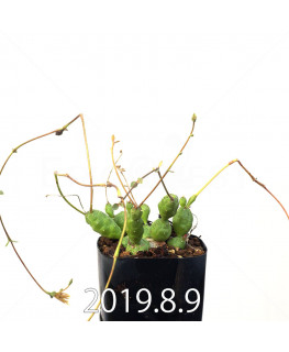 ユーフォルビア グロボーサ 子株 10019