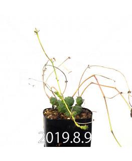 ユーフォルビア グロボーサ 子株 10024