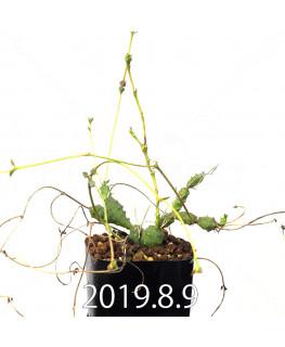 ユーフォルビア グロボーサ 子株 10026