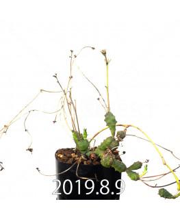 ユーフォルビア グロボーサ 子株 10027