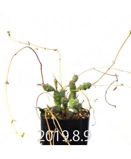 ユーフォルビア グロボーサ 子株 10028