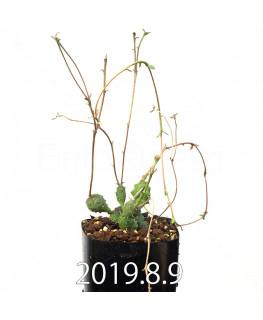 ユーフォルビア グロボーサ 子株 10029