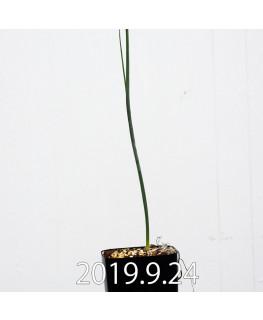 アルブカ ゼブリナ 実生 10052