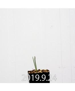 アルブカ ゼブリナ 実生 10065