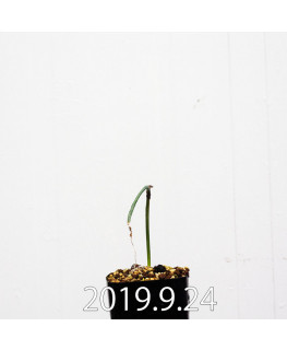 アルブカ ゼブリナ 実生 10069