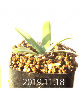 Drimia haworthioides ドリミア ハオルチオイデス ピリフェラ変種  10074