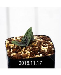 ラケナリア プスツラータ ISI2007-26 子株 10130