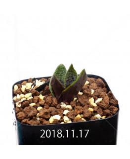 ラケナリア プスツラータ ISI2007-26 子株 10140