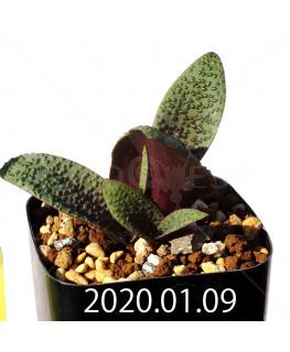 ラケナリア プスツラータ ISI2007-26 子株 10141